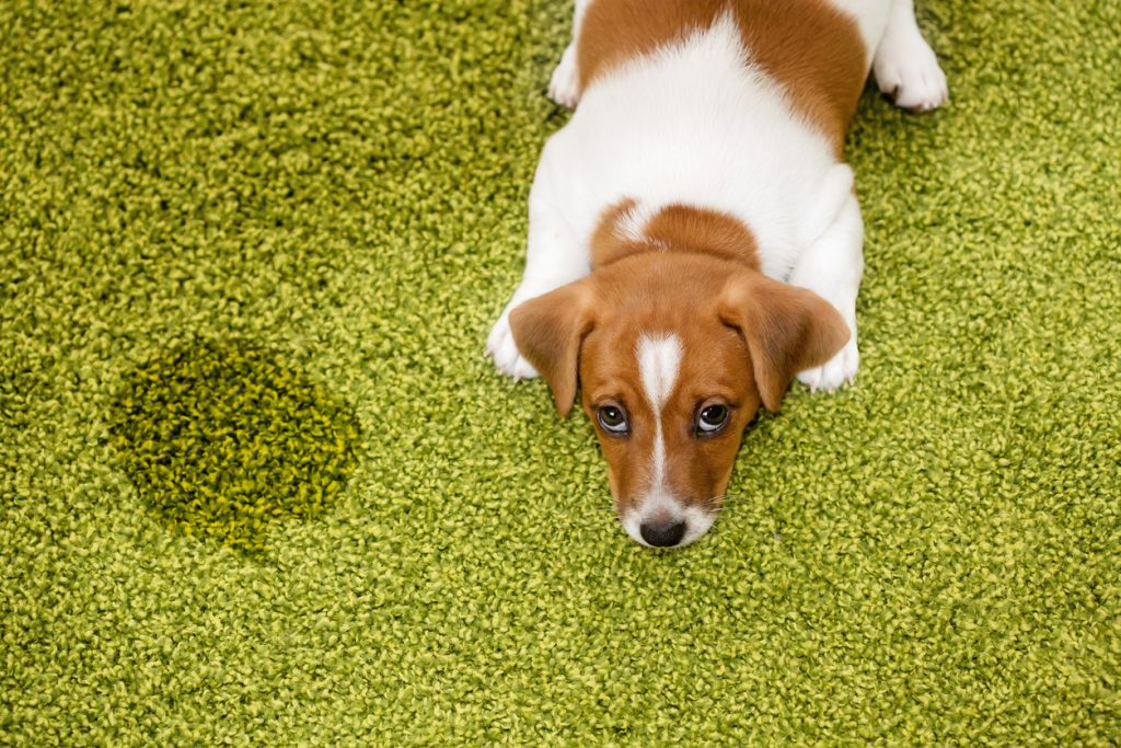 Pet Stain Removal Who Let The Dogs In Zerorez Socal Blog